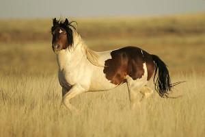 Pocit uspokojenia - kôň je spokojný a pokojný vtedy, keď nemá